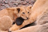 Lion Cub Discovered in Paris