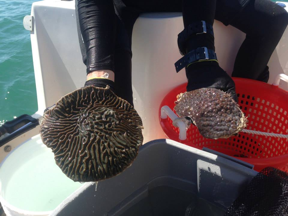 Coral rescue in progress. (Courtesy of Coral Morphologic)