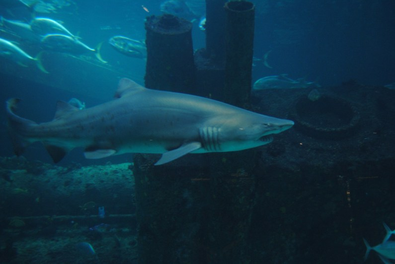 The sand tiger shark is currently considered a vulnerable species by the International Union for Conservation. (Courtesy of UND77/Wikimedia Commons)