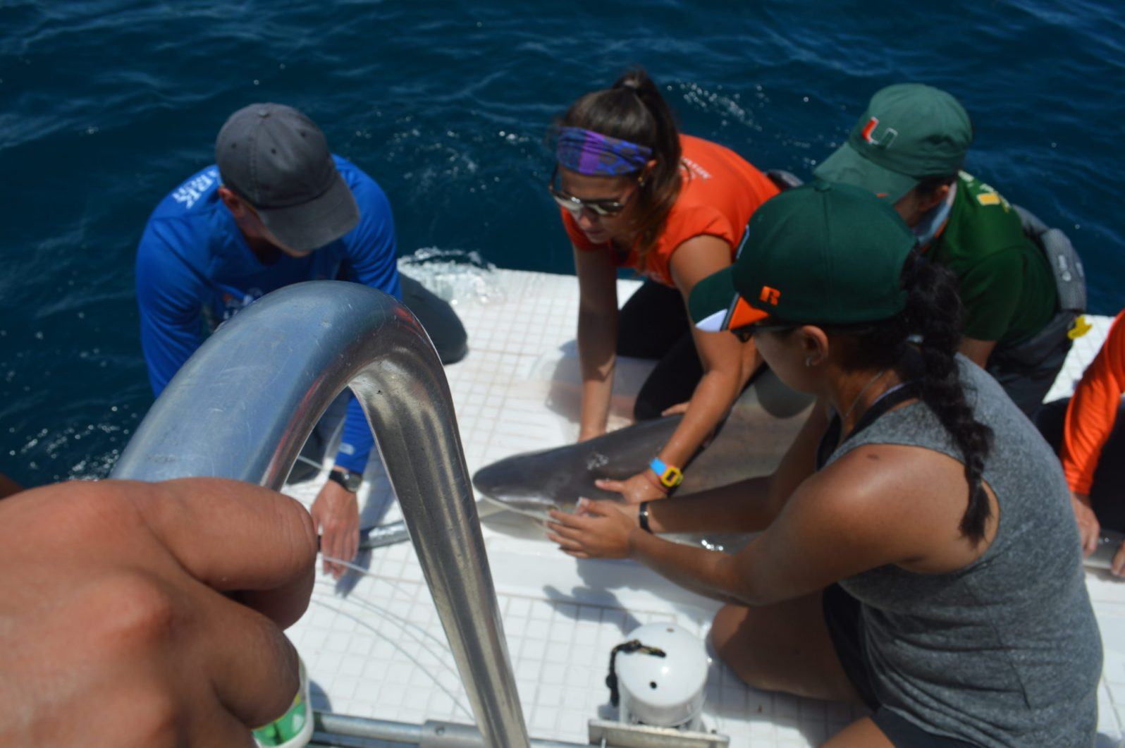 University of Miami undergraduate and graduate students measure and tag a sandbar shark