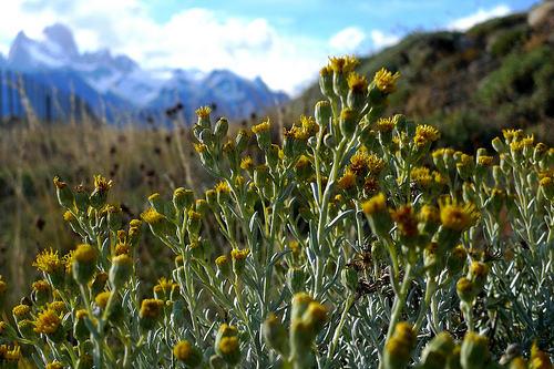 Flowers in Patagonia