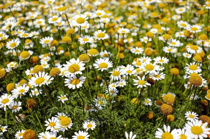Top 13 Benefits Of Drinking Chamomile Tea For Skin & Health