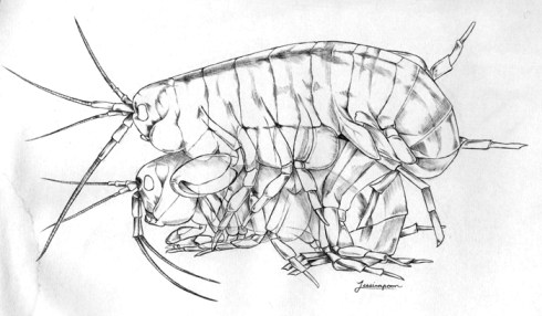Parhyale Amplexus. Drawing by Jessica Poon.