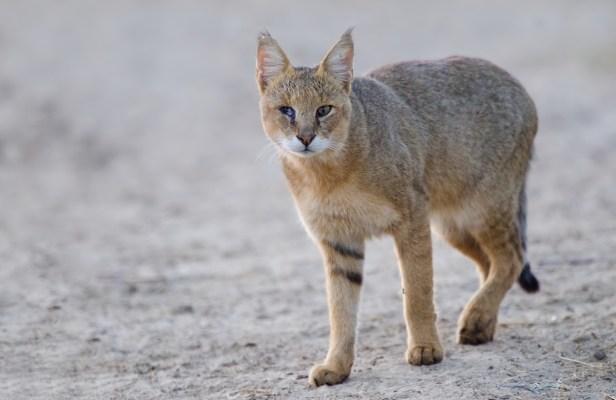 jungle cat in makalu barun national park punjab