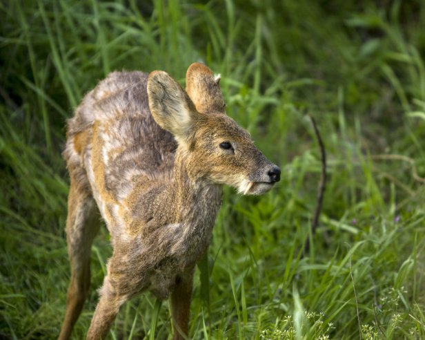 musk deer in makalu barun national park punjab