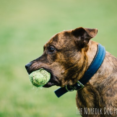 The-Norfolk-Dog-Photographer-0004