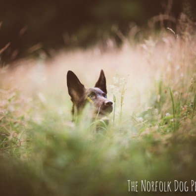 The-Norfolk-Dog-Photographer-0040
