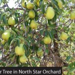 North Star House Grass Valley pear tree Felix Gilet