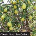 Felix Gilet Pear Tree