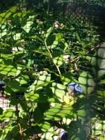 Blueberries starting to turn blue