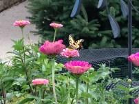 Swallowtail on zinnia