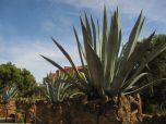 GIANT succulents