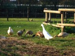 I loved these taupe colored ducks and bossy geese
