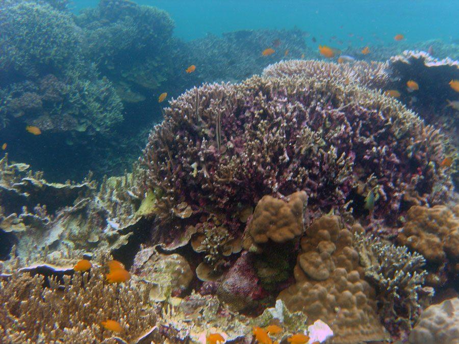 Cebu Moalboal Razorfish Coral