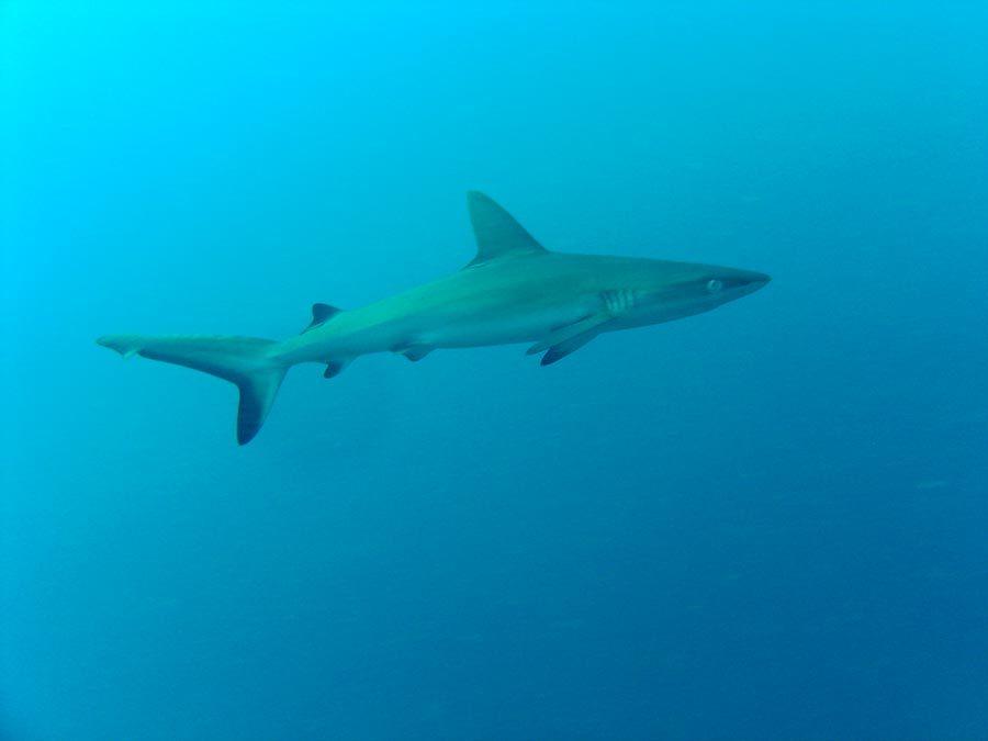 Sipadan Shark Swimming