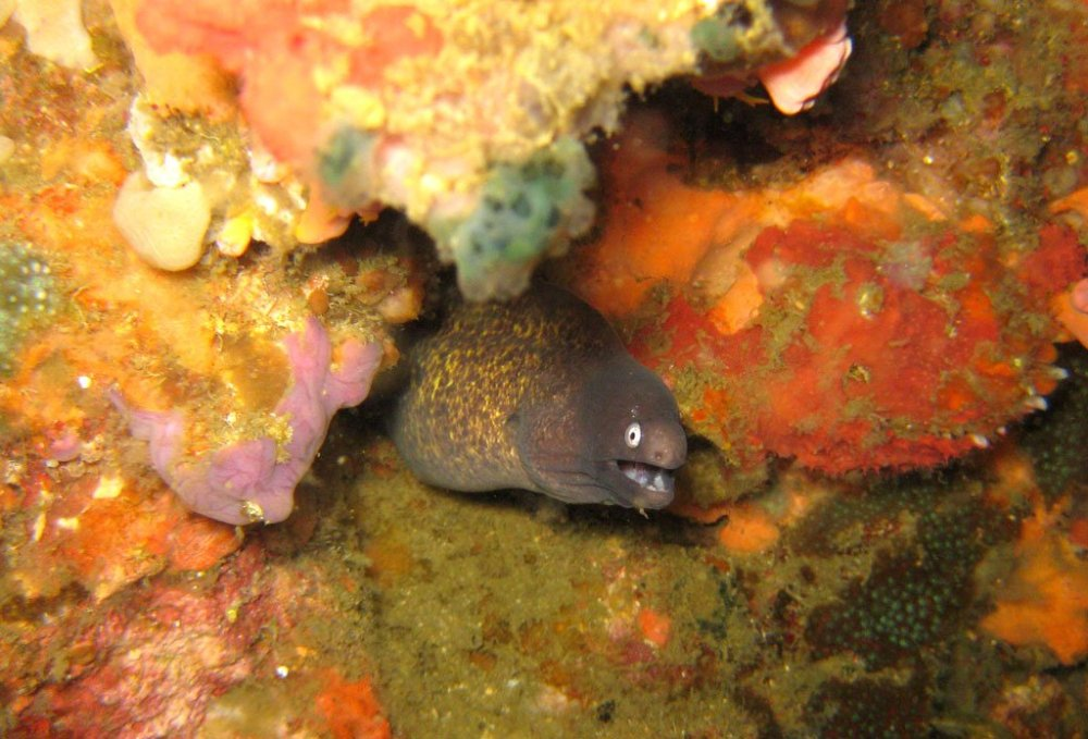 Cebu Malapascua Moray Eel