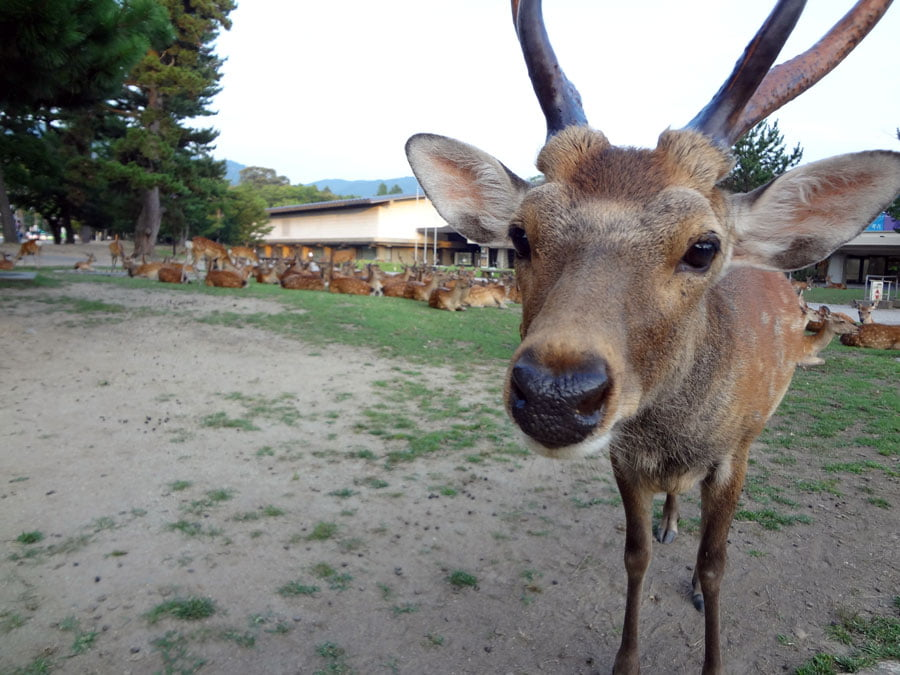 Japan Nara Deer Closeup