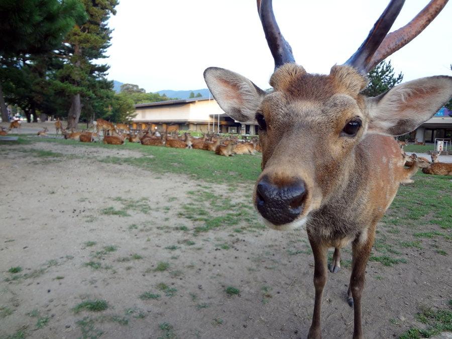 Japan Nara Deer Closeup