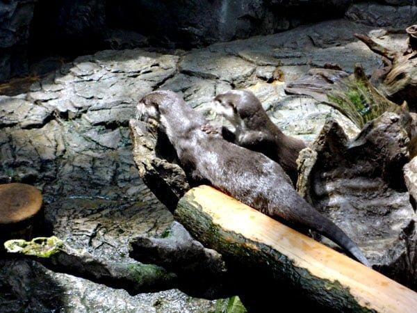 Osaka - Kaiyukan Otters