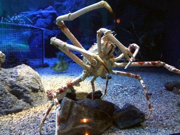 Osaka - Kaiyukan Spider Crab