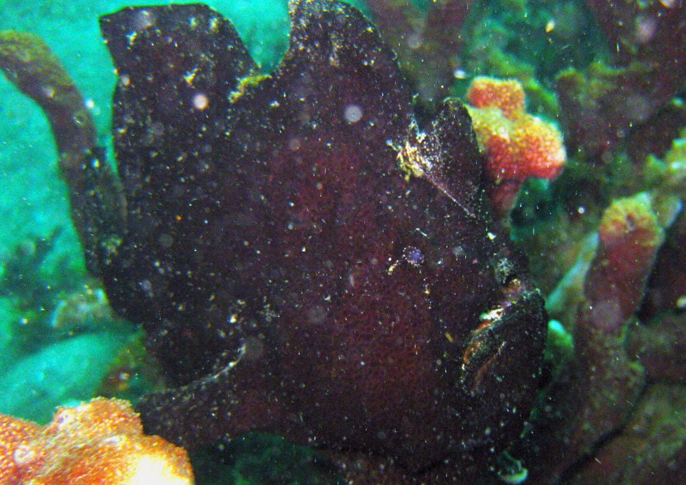 Lembeh Diving Frogfish Black