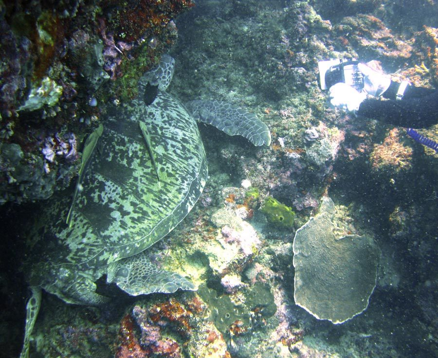 Manado Diving Turtle Big Compare
