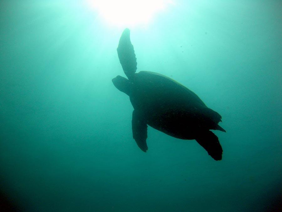 Manado Diving Turtle Up