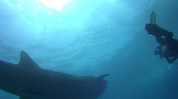 Cut off Whale Shark