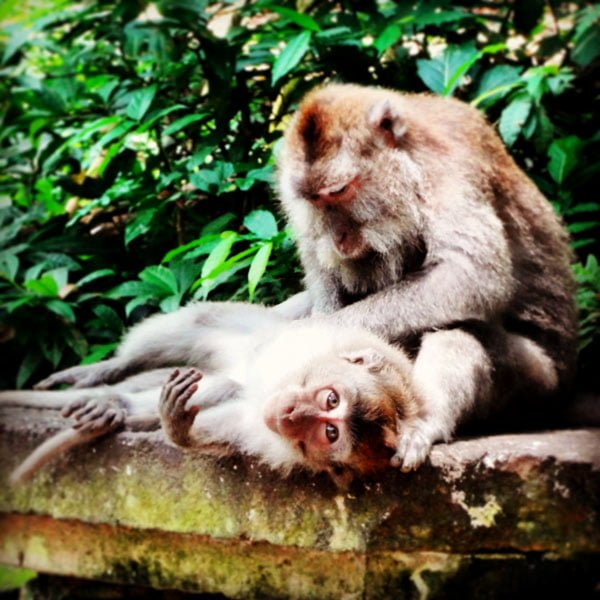 Bali Monkey Forest Grooming