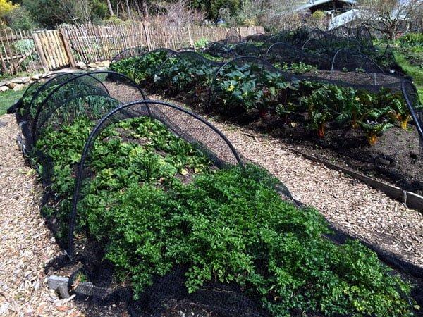 Daylesford St Erth Turnips