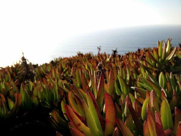 Portugal - Cabo da Roca Succulent Plants