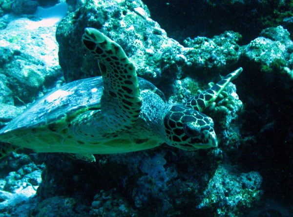 Club Med Kani Maldives Diving Turtle Closeup