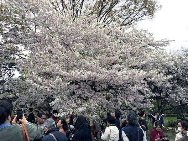 Tokyo Imperial Palace Sakura Tree