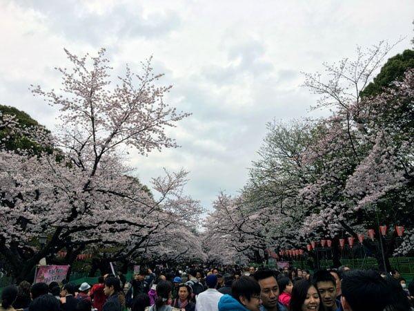 Tokyo Ueno Park Sakura Full