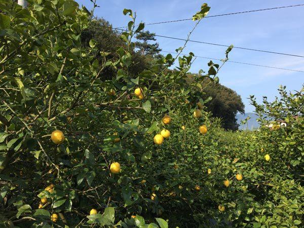 Shimanami Kaido - Ikuchijima Citrus Trees