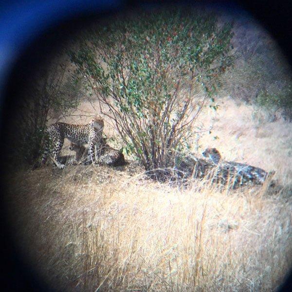 Kenya Maasai Mara Safari Cheetah Bino