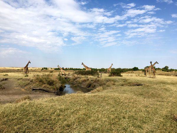 Kenya Maasai Mara Safari Giraffe Herd
