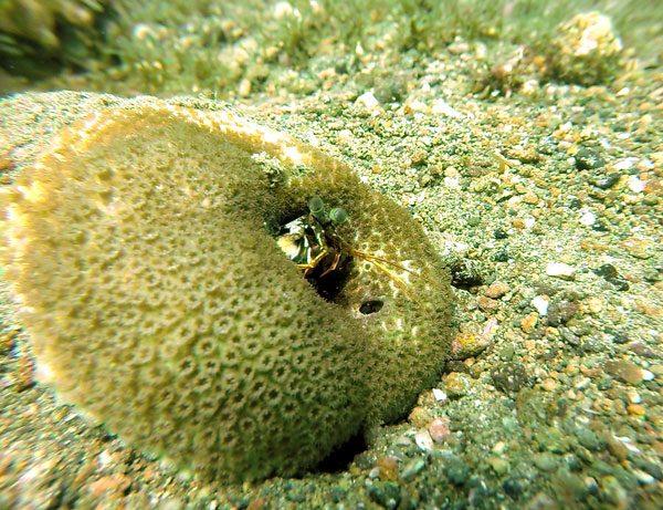Philippines Anilao Peacock Mantis Shrimp Coral