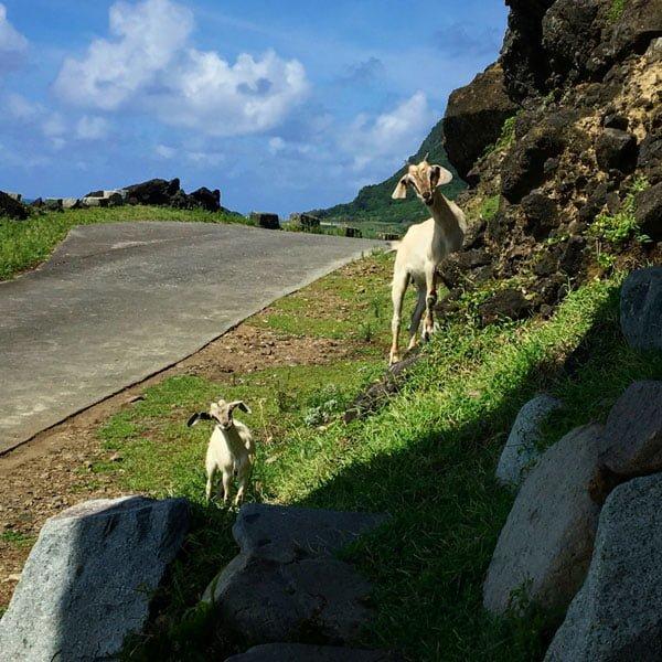 Taiwan Lanyu Goats