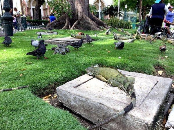 Ecuador Guayaquil Iguana Basking