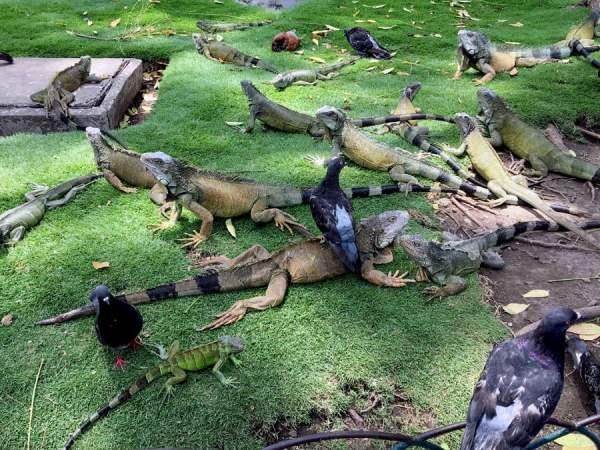Ecuador Guayaquil Iguana Group