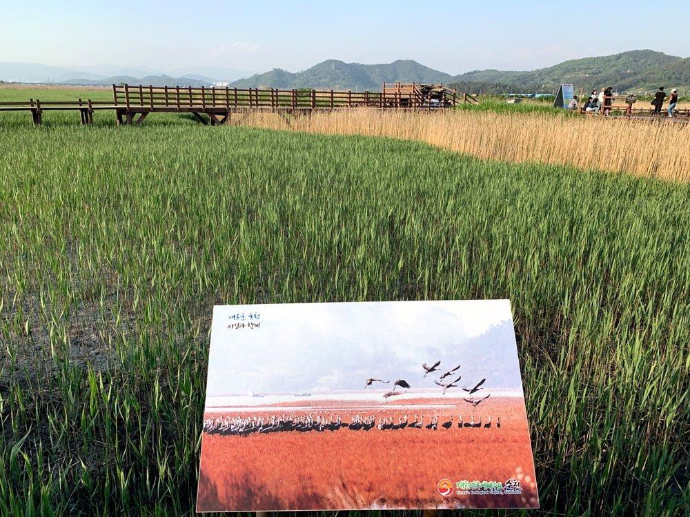 Suncheon Bay Wetland Reeds Autumn