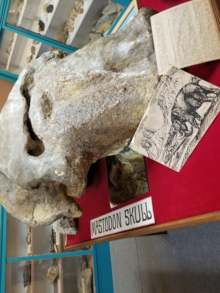 mastadon skull at geronimo springs museum