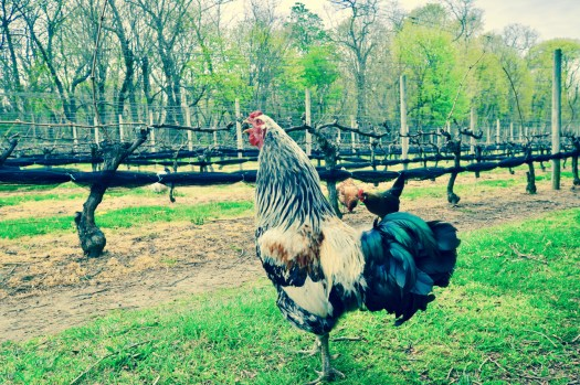 A rooster crowing out in the vineyards