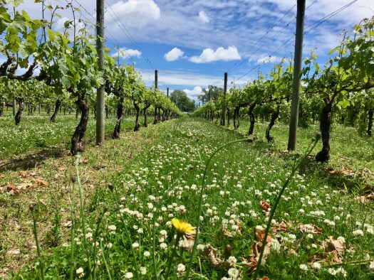 Our vineyards in spring with loads of clover.