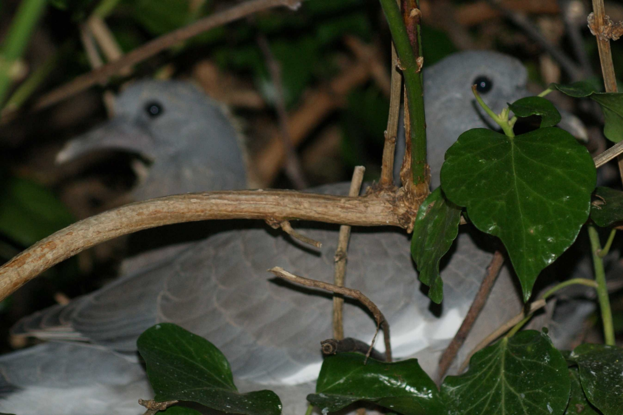 Two big baby pigeons in a nest in our garden
