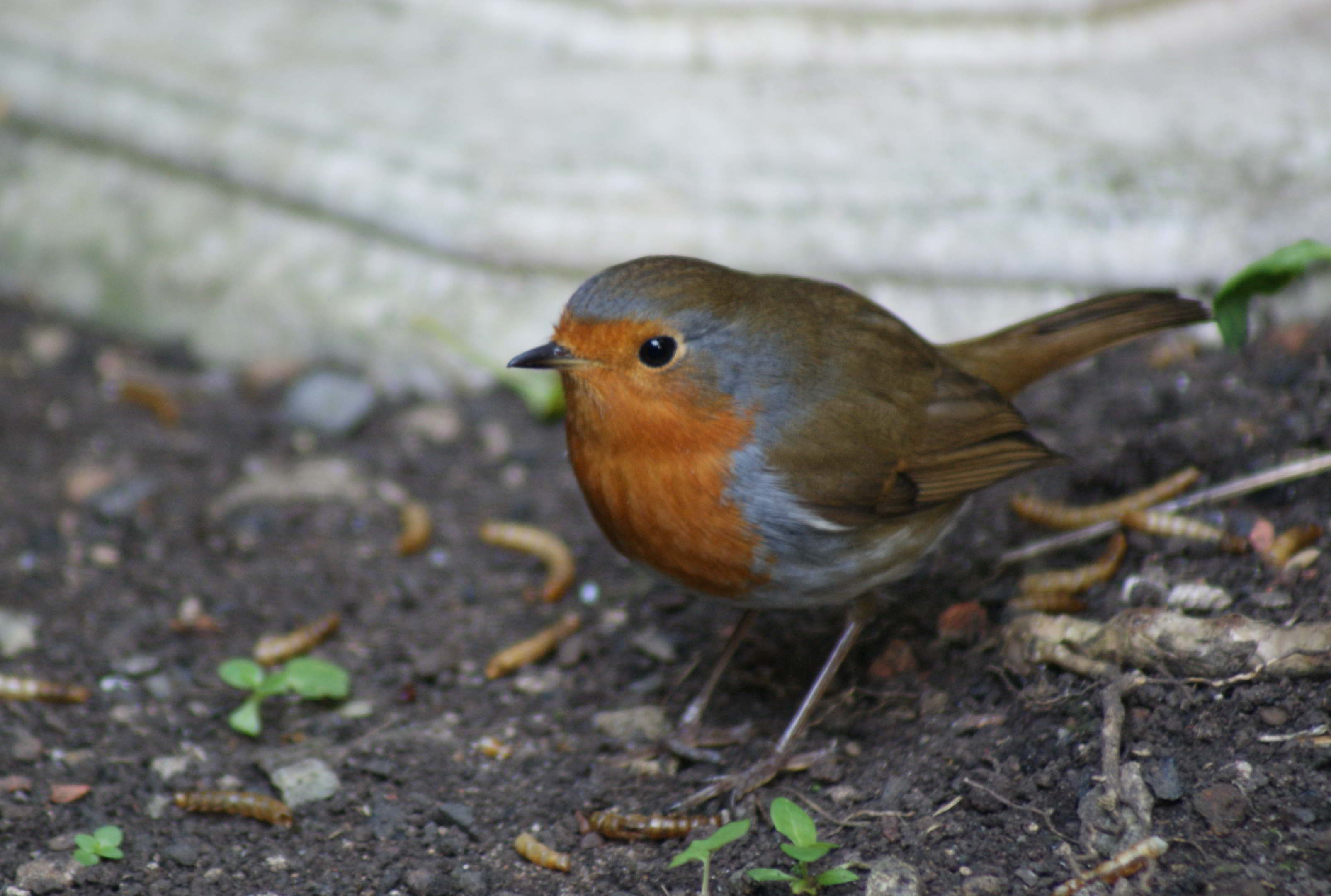 A beautiful robin in the garden at The Old Kiln House looks directly into the camera and smiles