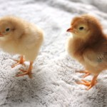 What I wish I would have known about raising chicks