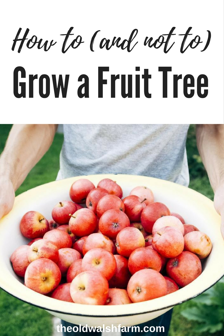 How to plant a fruit tree (what not to do)