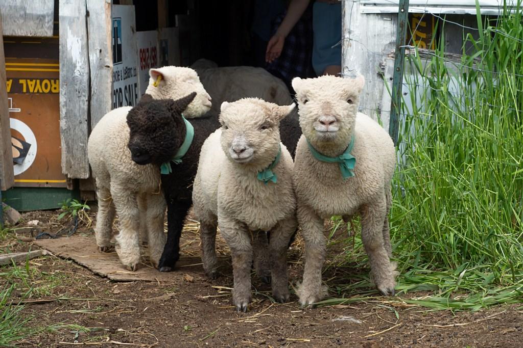 Raising babydoll sheep